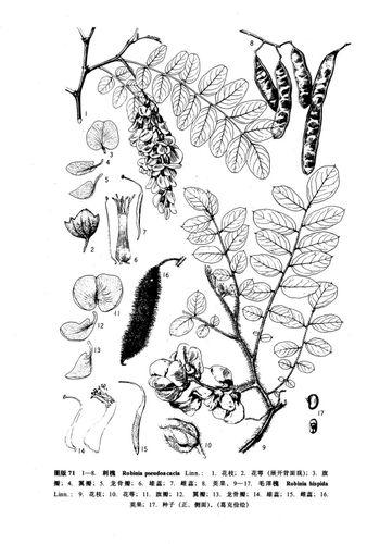 槐花瓣简笔画